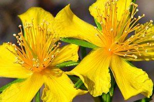 Flor de la pasión y hierba de San Juan para la ansiedad y la depresión