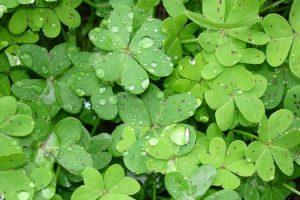 Beneficios de Ambada o Sorrel (hojas de Gongura)