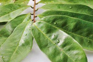 Beneficios de las hojas de guanábana piel, cabello, gota, sueño, cáncer, osteoporosis, diabetes, trastornos de la sangre, hipertensión