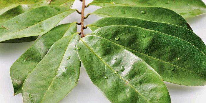 propiedades de la hoja de guanabana para la diabetes