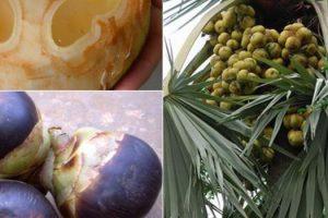 Beneficios para la salud de Palm Toddy (Neera) y sus efectos secundarios