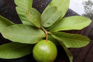 Son las hojas de guayaba buenas para la piel y el cabello
